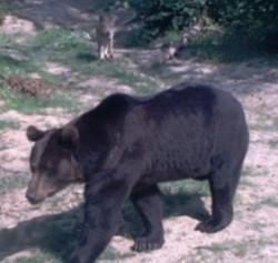 Kuno der Bär